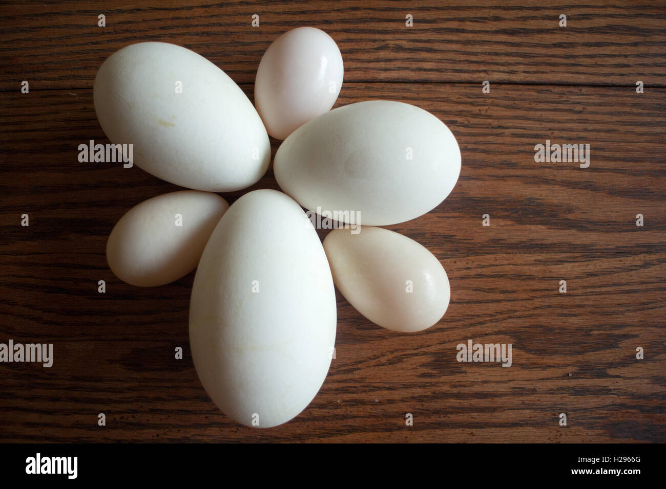 Duck, Goose and chicken eggs in multiple sizes - Stock Image