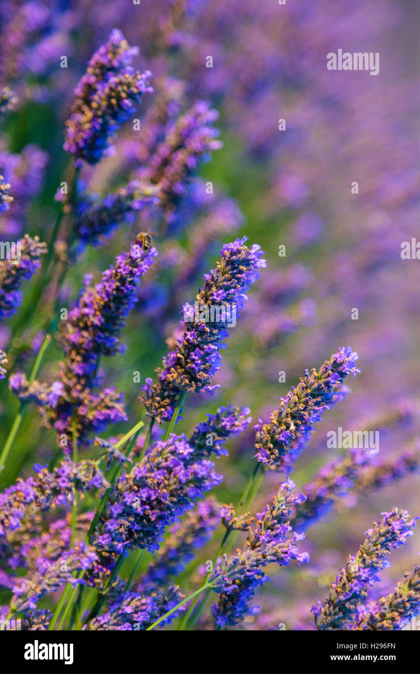 Botanical background of blooming purple lavender herb Stock Photo