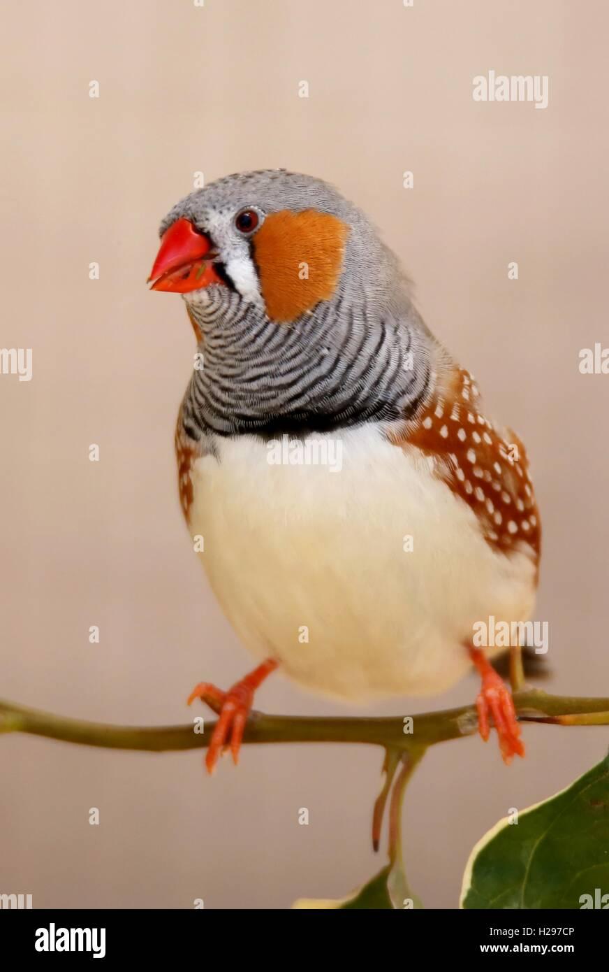 Zebra Finch male Bird - Stock Image