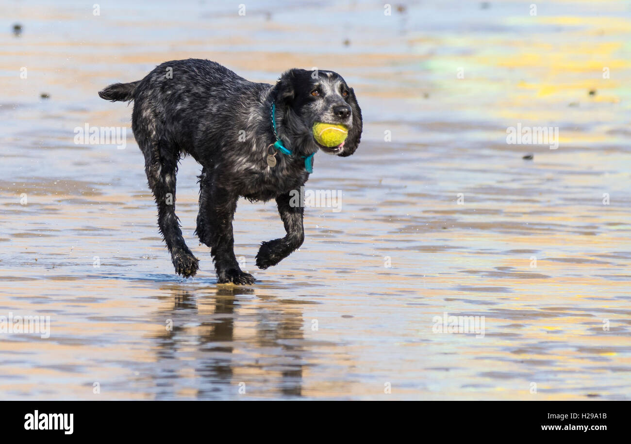 Black Pointer Mix dog playing with a ball on a beach. - Stock Image