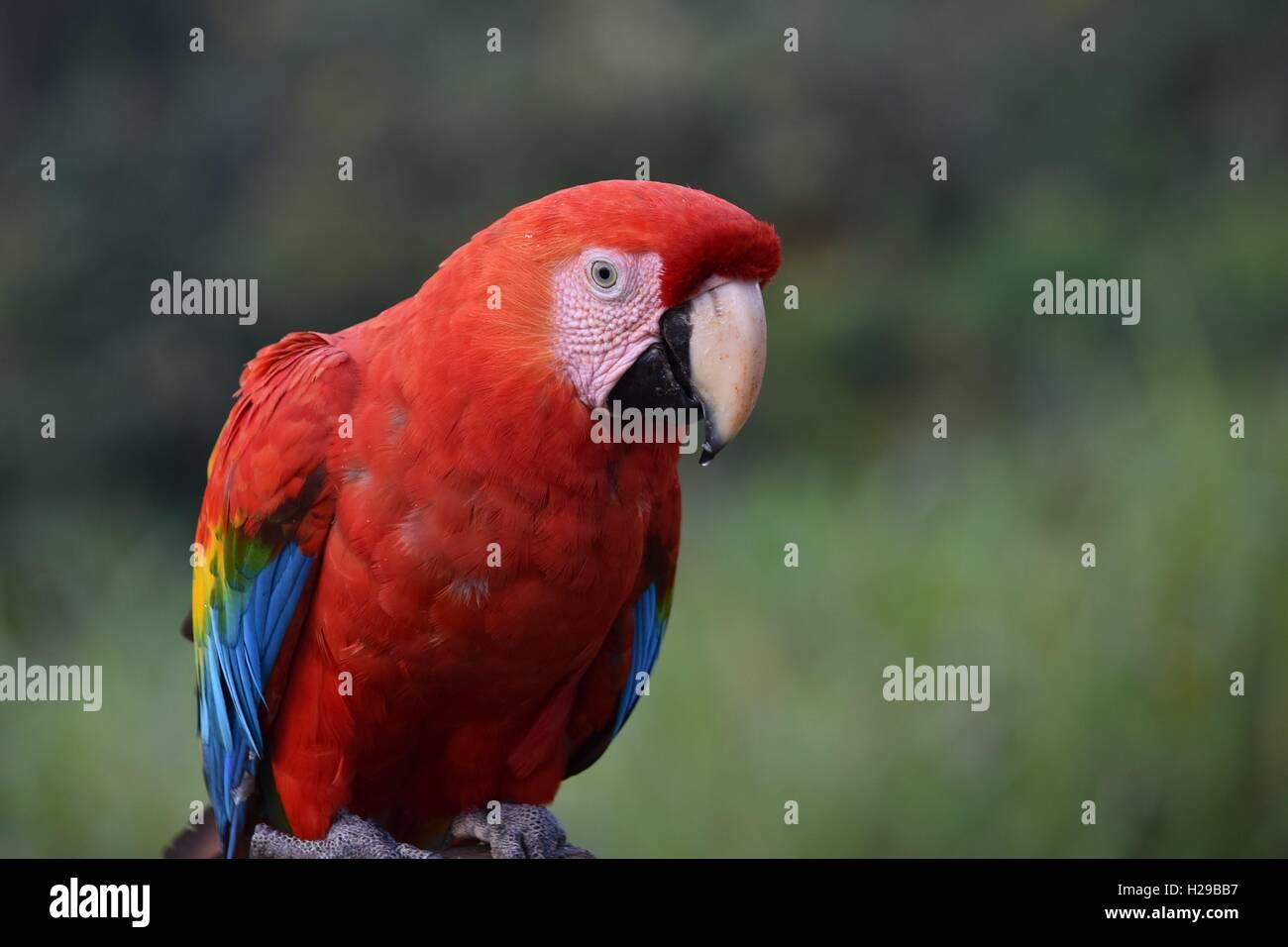 Parrot, Fauna, Flora, Jungle, Rain Forest, Manu, Peru - Stock Image