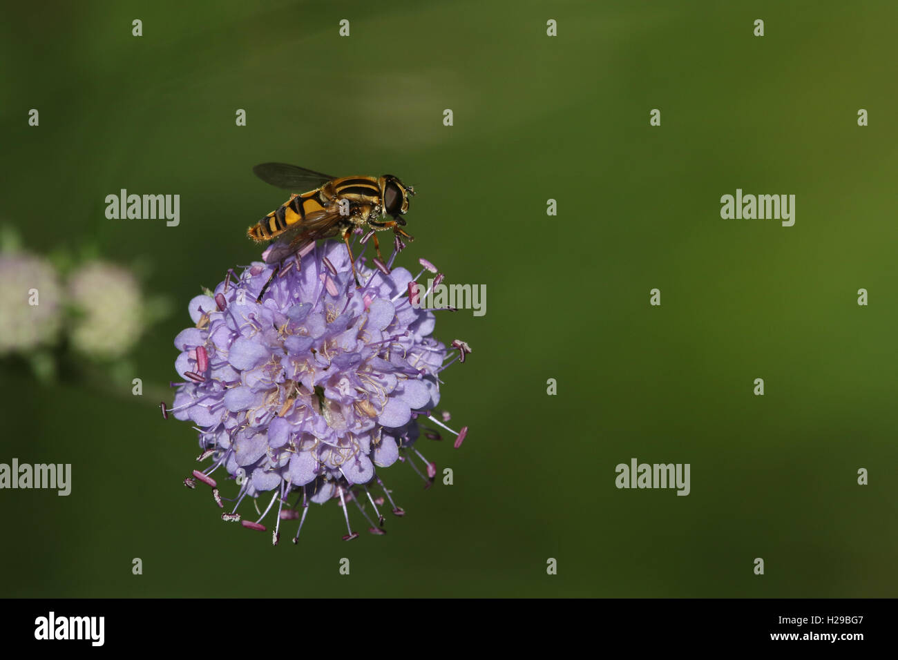 A Hoverfly feeding on a Scabious flower. - Stock Image