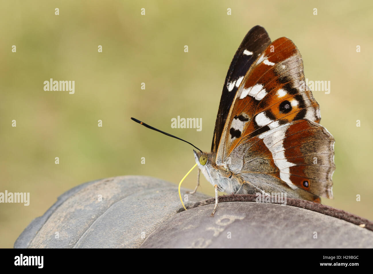 Purple Emperor (Apatura iris) Butterfly feeding from the minerals on a Boot. Stock Photo