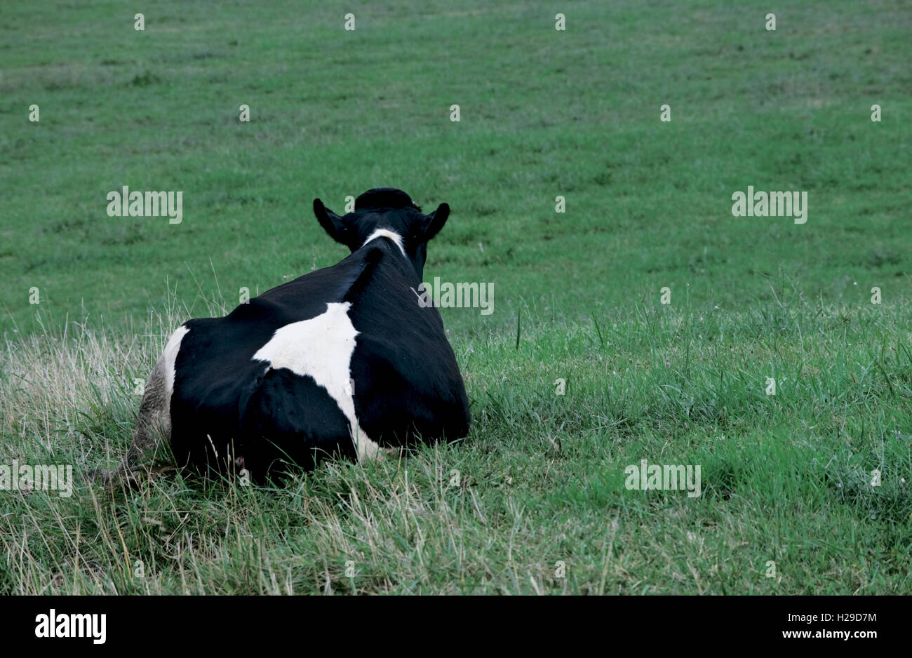 Dairy Cow Looking out over Field - Stock Image