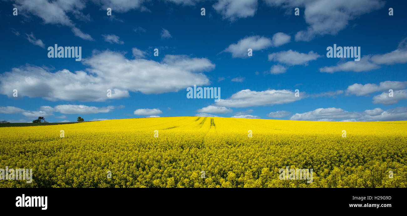 A field of oilseed rape in bloom in summer - Stock Image