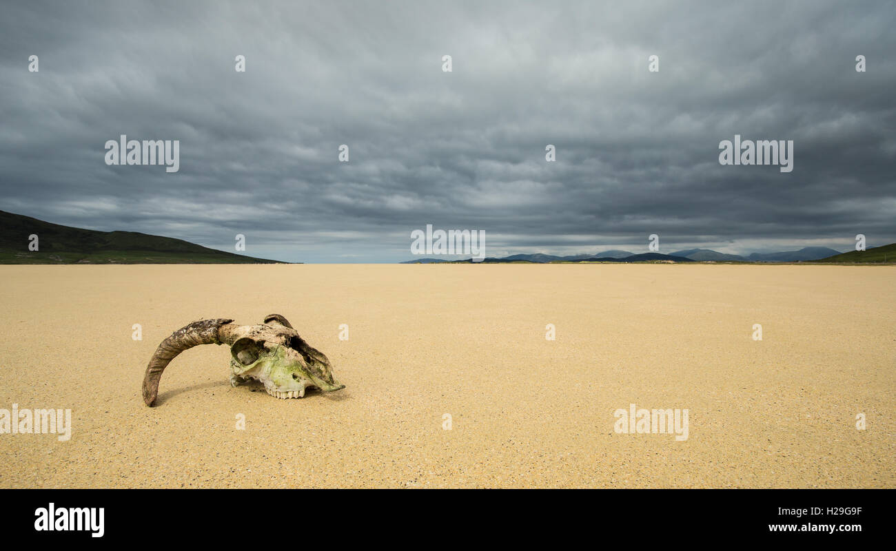 Sheep skull on the sands of Northton Beach, Isle of Harris, Outer Hebrides, Scotland - Stock Image