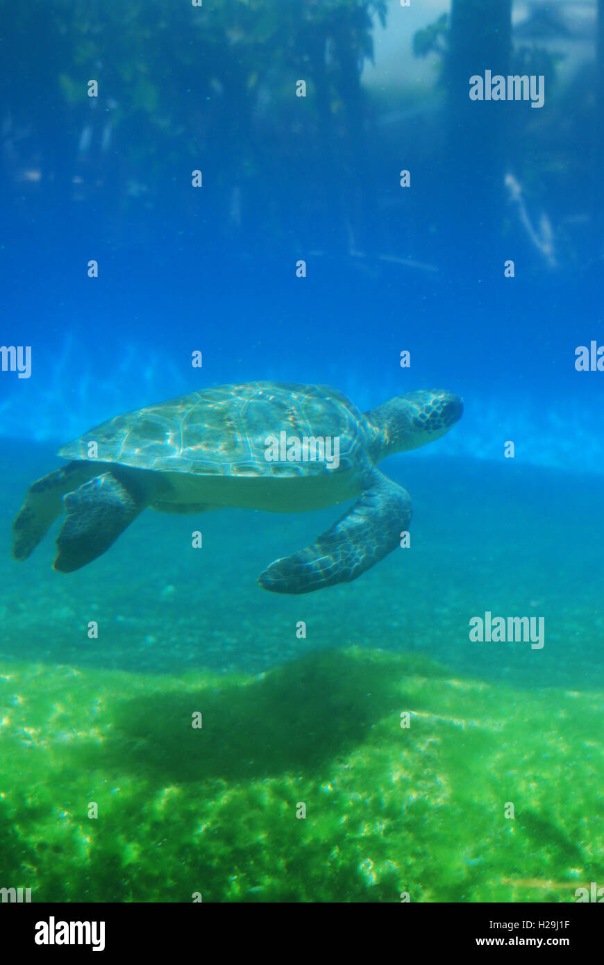 Sea turtle gliding along underwater. - Stock Image