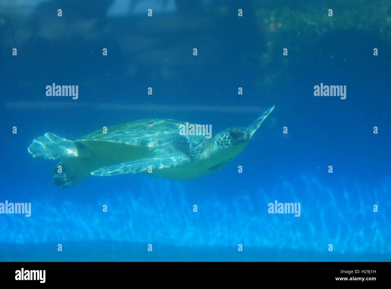 Amazing sea turtle gliding along underwater. - Stock Image