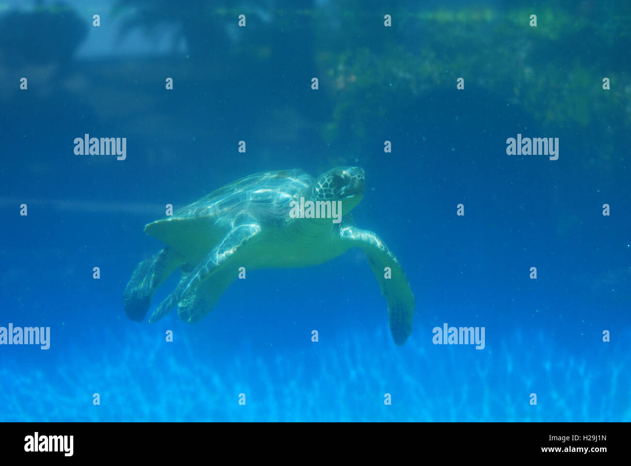 Sea turtle moving along under the water's surface. - Stock Image