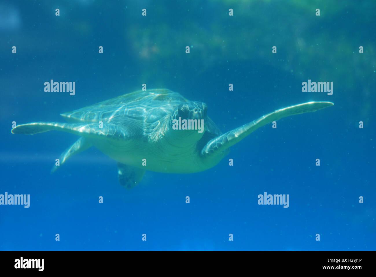 Sea turtle gliding along underwater in the deep blue ocean. - Stock Image