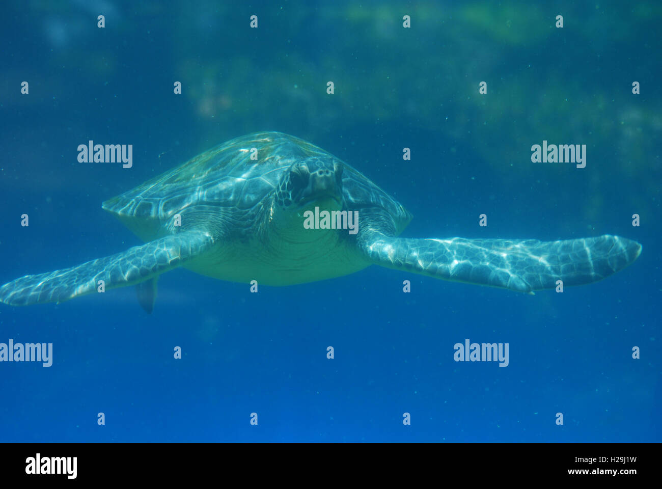 Great look at a sea turtle swimming along the ocean in the deep blue sea. - Stock Image