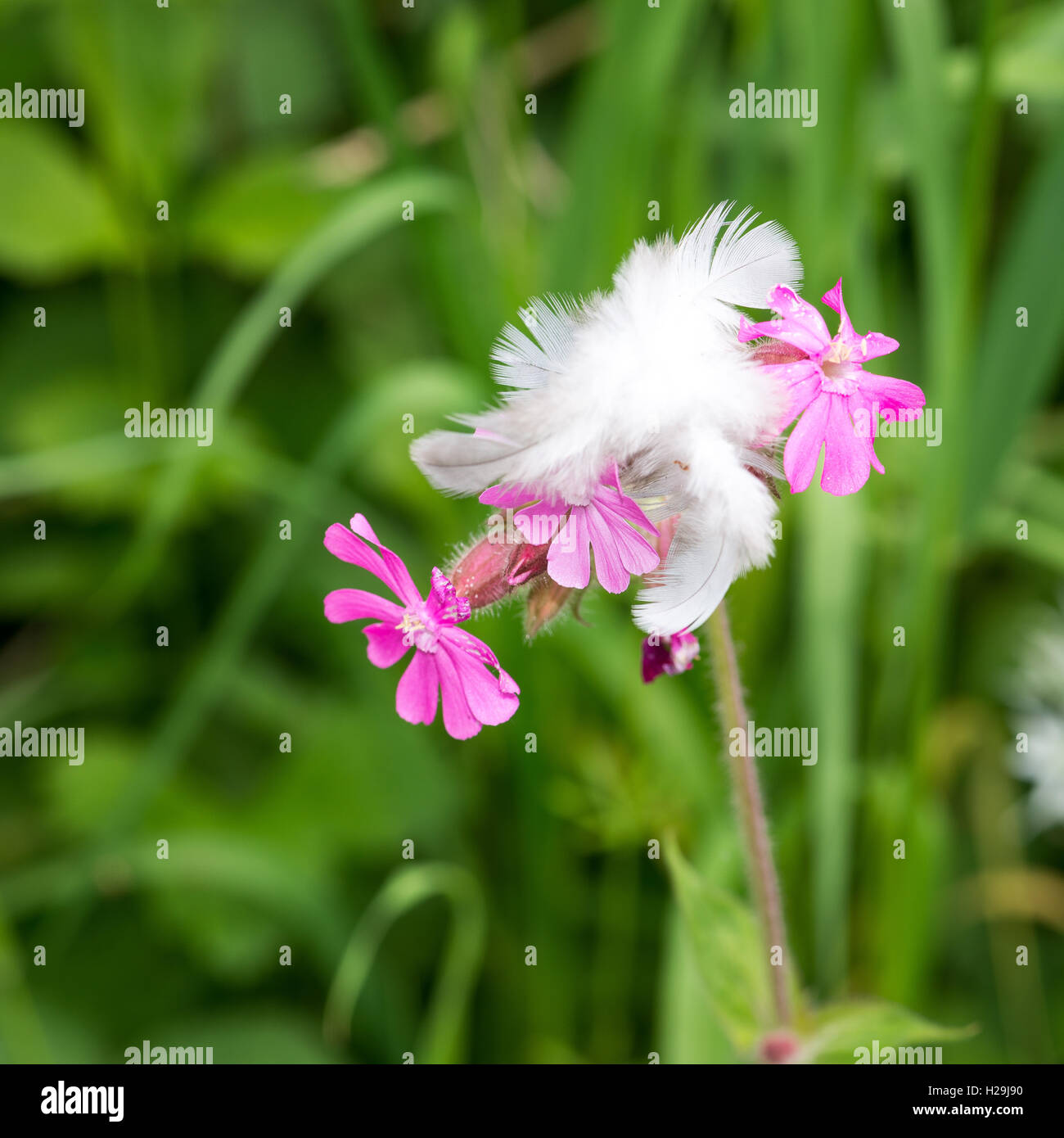 Pink campion flower stock photos pink campion flower stock images feather captured on a pink flower campion stock image mightylinksfo