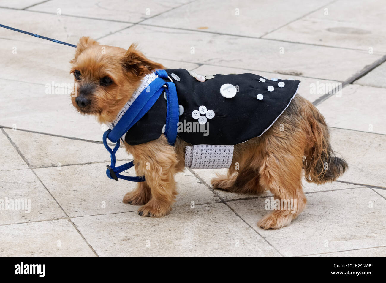 Dog at Pearly Kings and Queens Harvest Festival at Guildhall Yard, London England United Kingdom UK - Stock Image