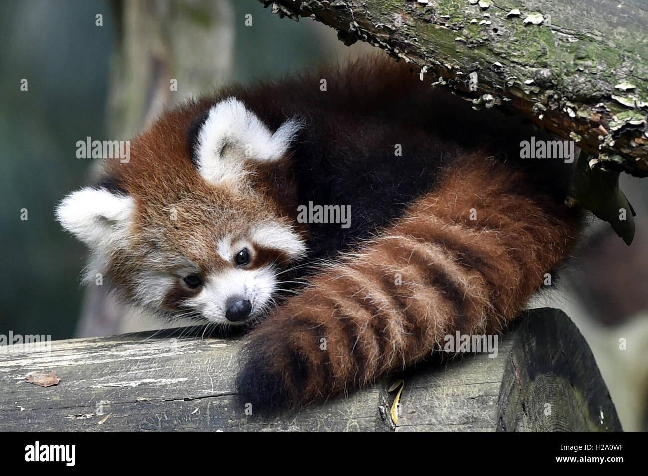 Zlin, Czech Republic. 26th Sep, 2016. Red panda cub sits on a tree in the zoo Zlin, Czech Republic, September 26, - Stock Image