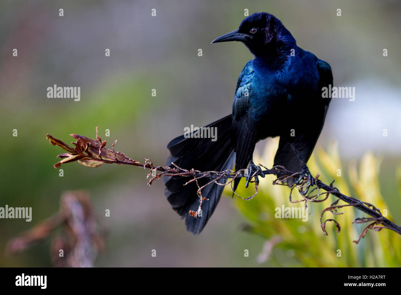 A Boat-Tailed Grackle perched on a dried frond is striking with velvety iridescence against wetland greens and yellows. - Stock Image