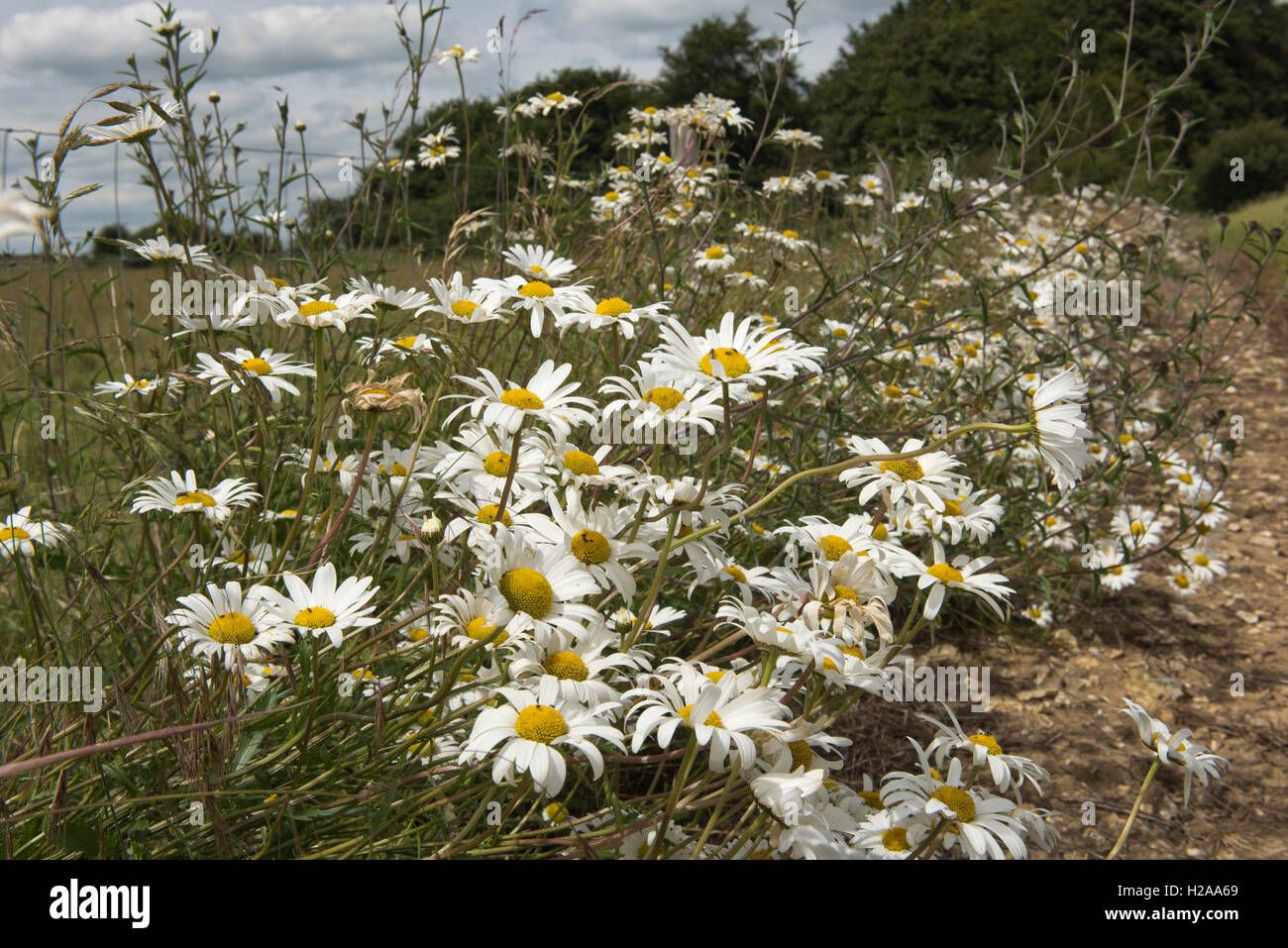Ox-eye daisies, Leucanthemum vulgare, flowering along a fence, Berkshire, July Stock Photo