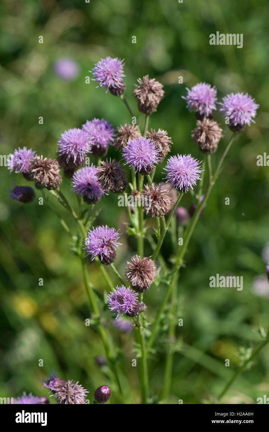 Purple Flower Of A Creeping Thistle Cirsium Arvense A Weed Of