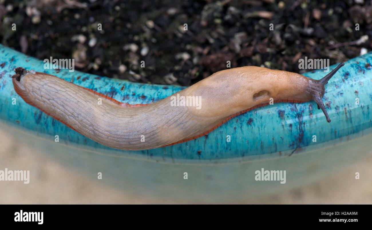 Spanish slug, Arion vulgaris, beige with orange skirt, moving forward with extended antennae and pneumostome open - Stock Image