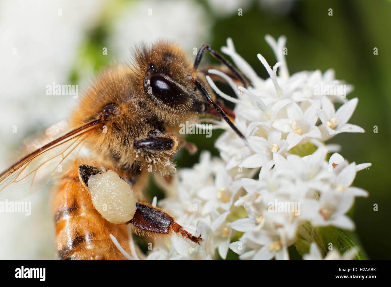 Pollen Head - Stock Image
