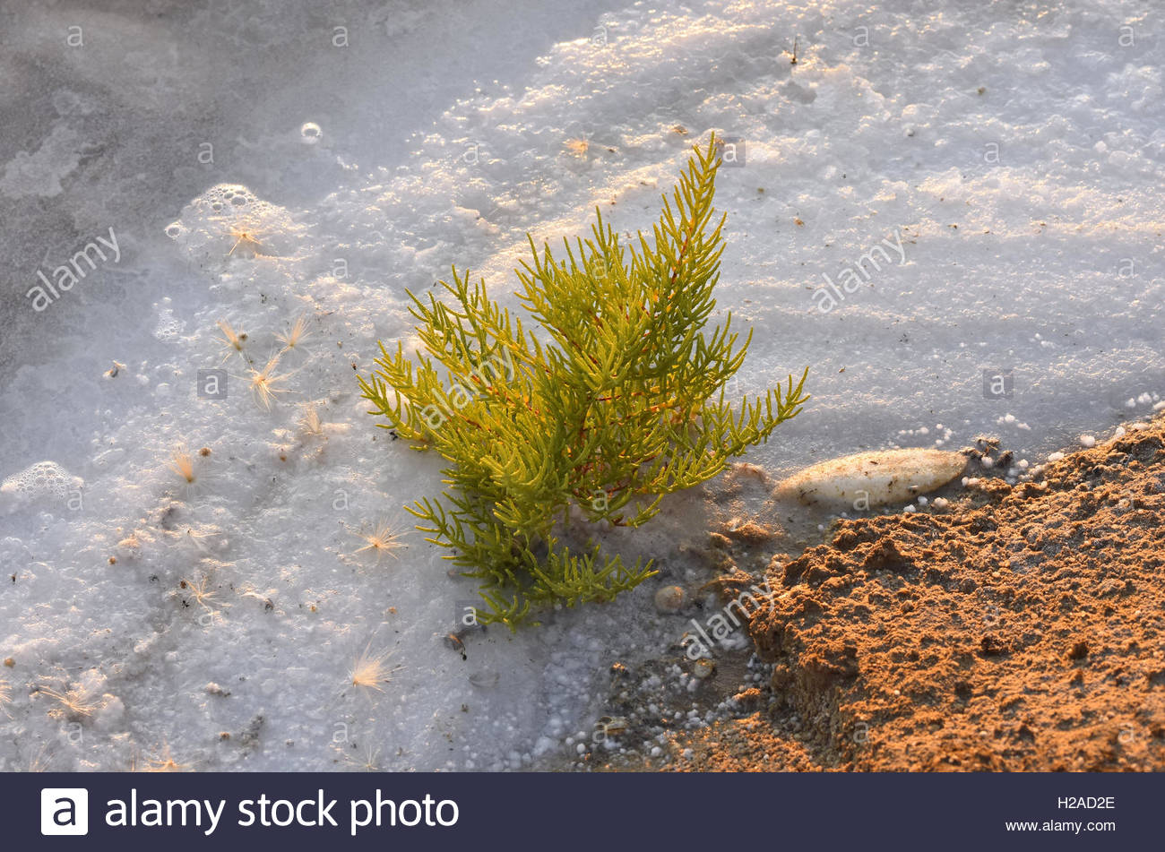 Small conifer tree growing in salt marsh Ria Formosa Nature Reserve Faro Portugal Europe Stock Photo