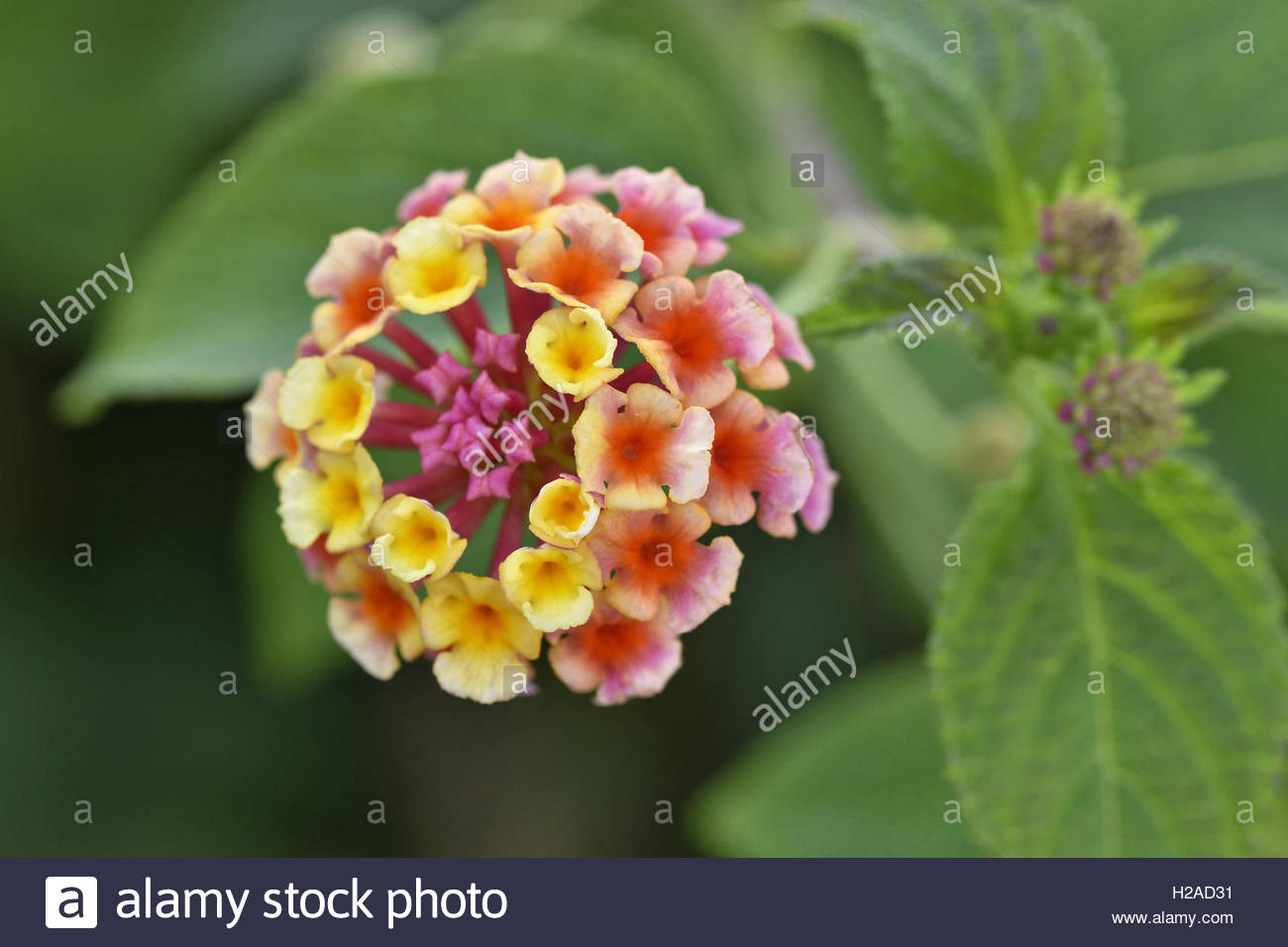Lantana flower (Lantana camara) close-up, Algarve Portugal Europe. Stock Photo