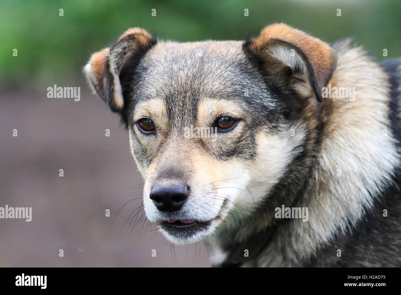 brown dog with a funny bark muzzle opened her mouth to each puppy pet funny silly nice - Stock Image