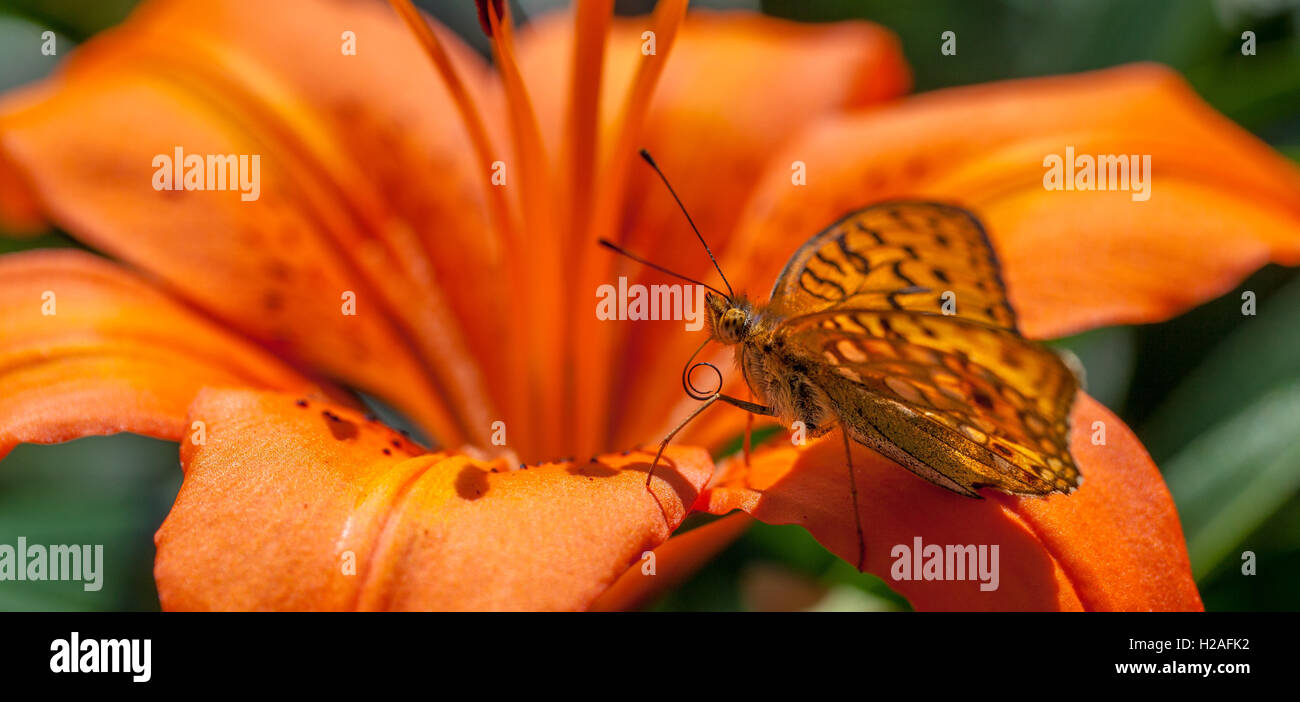 Orange butterfly resting on orange flower - Stock Image