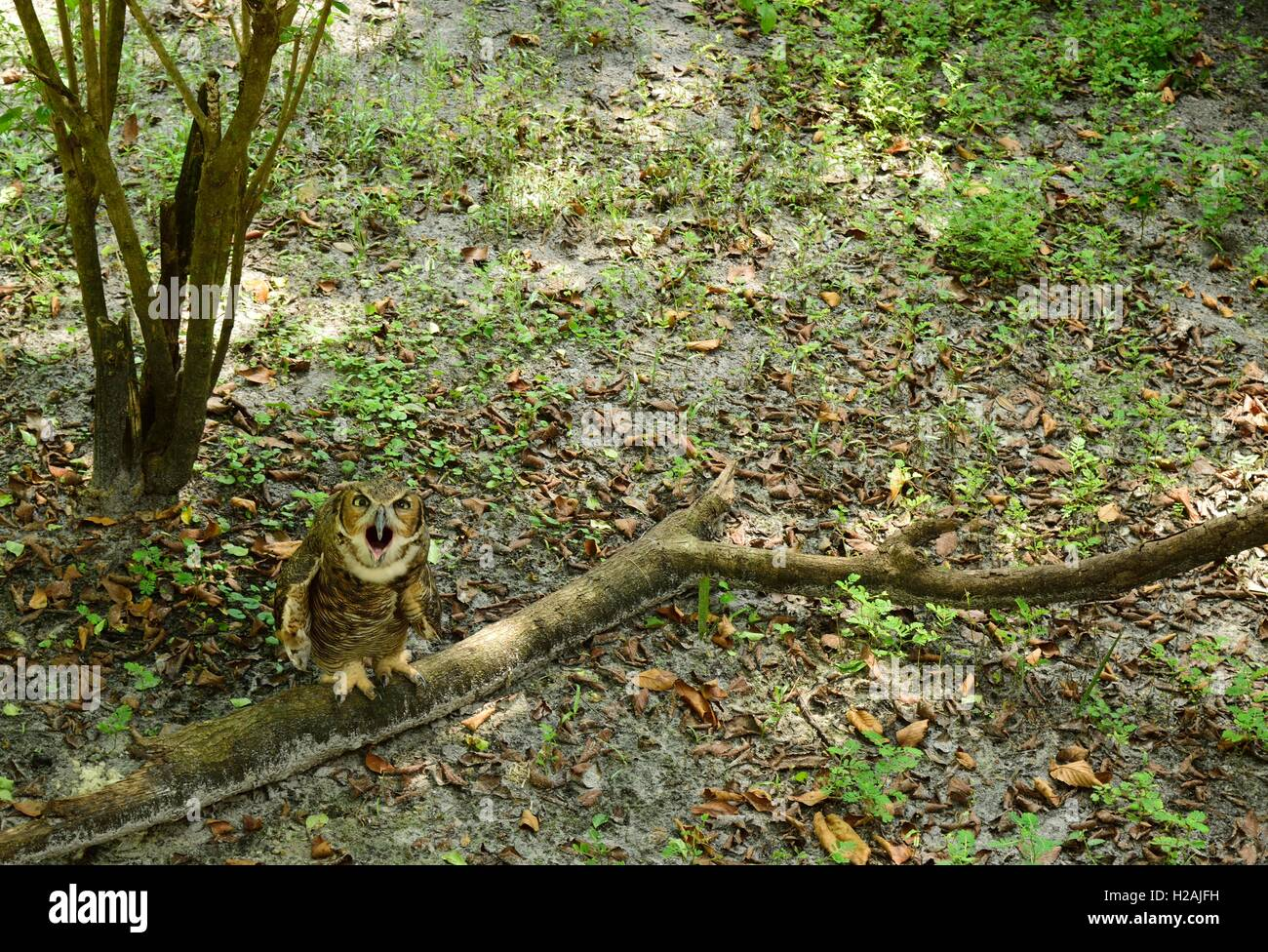 Distressed owl sitting on a branch on the ground. - Stock Image