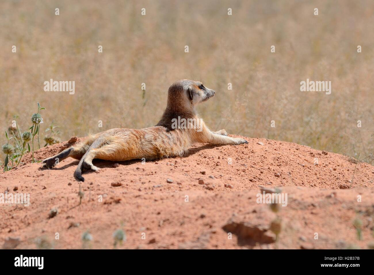 Meerkat (Suricata suricatta), adult lying on a sandy mound, attentive, Kgalagadi Transfrontier Park, Northern Cape, - Stock Image