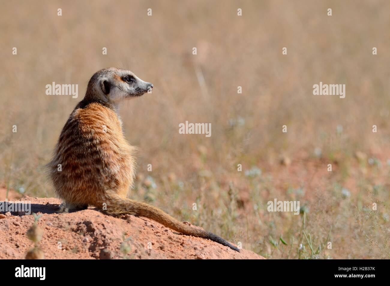 Meerkat (Suricata suricatta), adult sitting on a sandy mound, attentive, Kgalagadi Transfrontier Park,Northern Cape,South - Stock Image