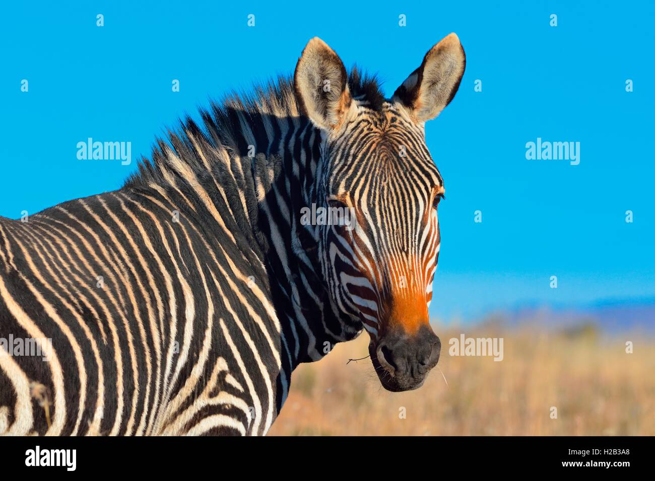 Cape Mountain Zebra (Equus zebra zebra), portrait, Mountain Zebra National Park, Eastern Cape, South Africa, Africa - Stock Image