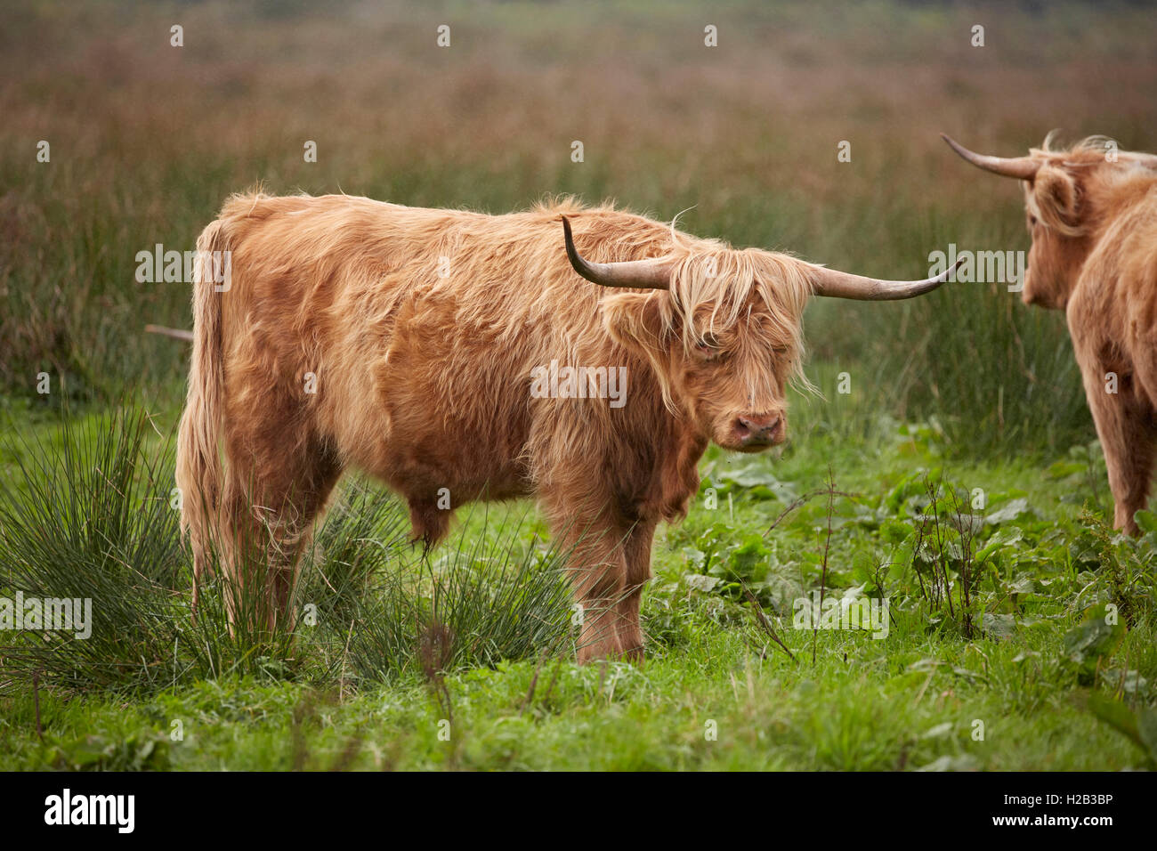 Highland bull at Alverstone on the Isle of Wight - Stock Image