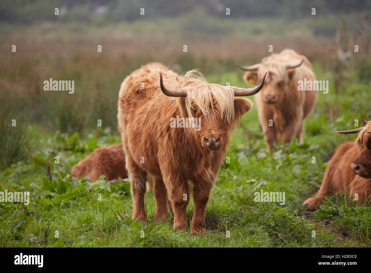 Highland cattle at Alverstone on the Isle of Wight - Stock Image