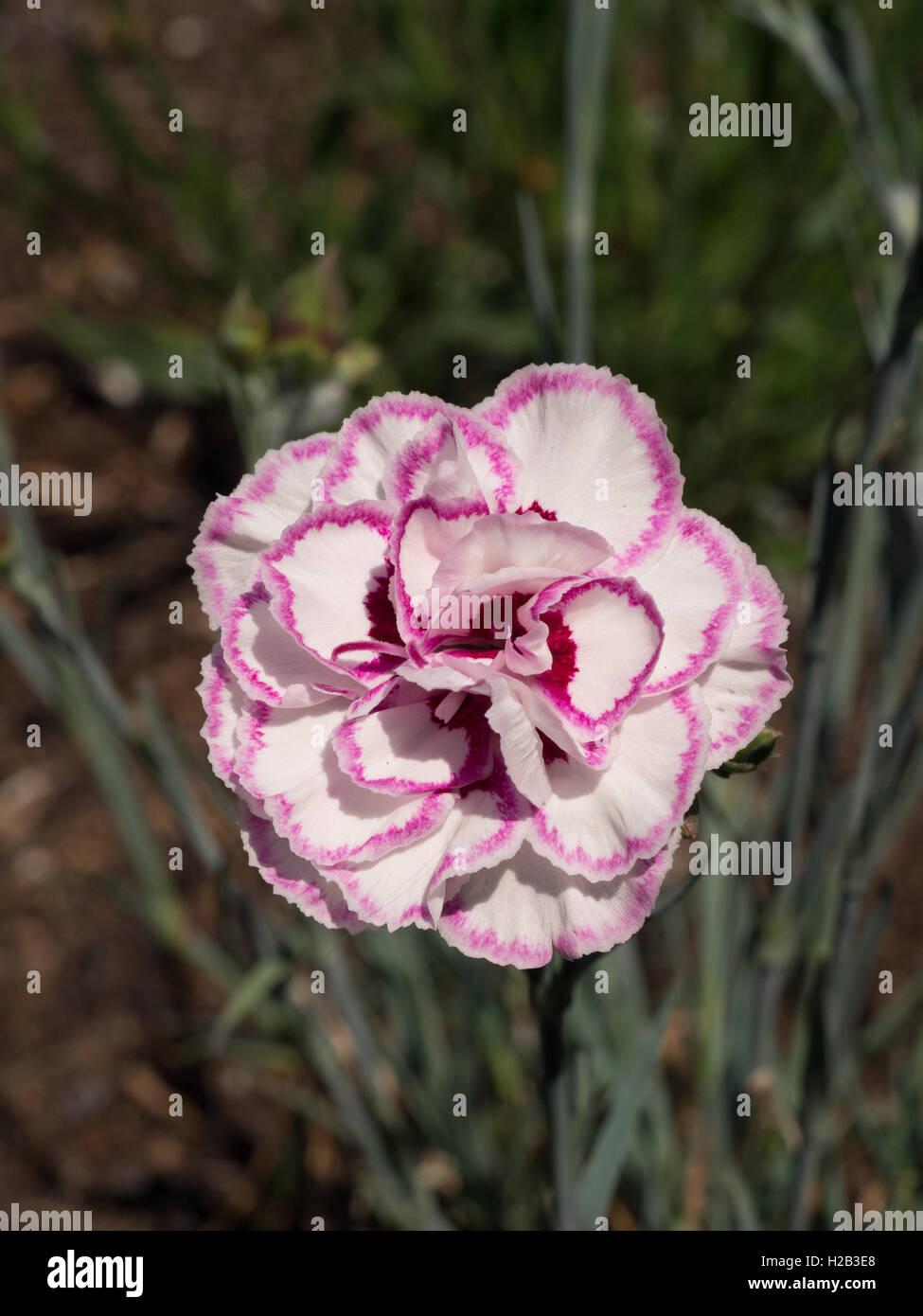 Dianthus 'Grans Favourite' flower - Stock Image