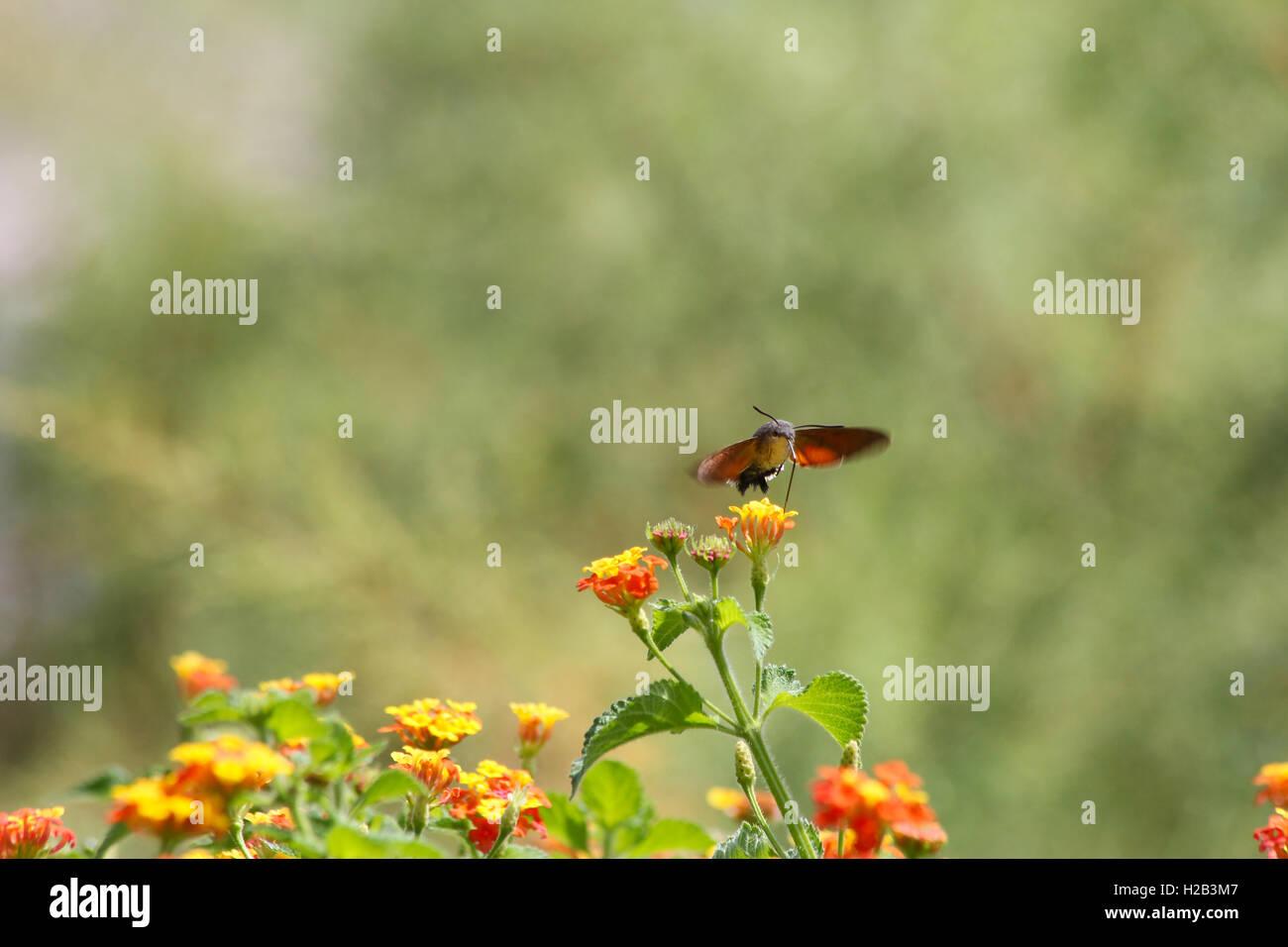 hummingbird hawk moth - Stock Image