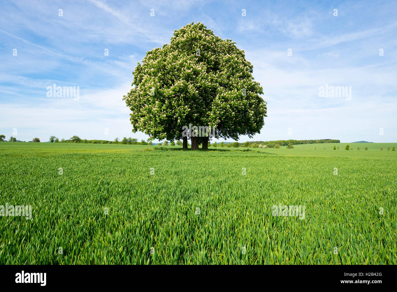 Horse-chestnut or conker tree (Aesculus hippocastanum) flowering, group of trees in grain field, Thuringia, Germany Stock Photo