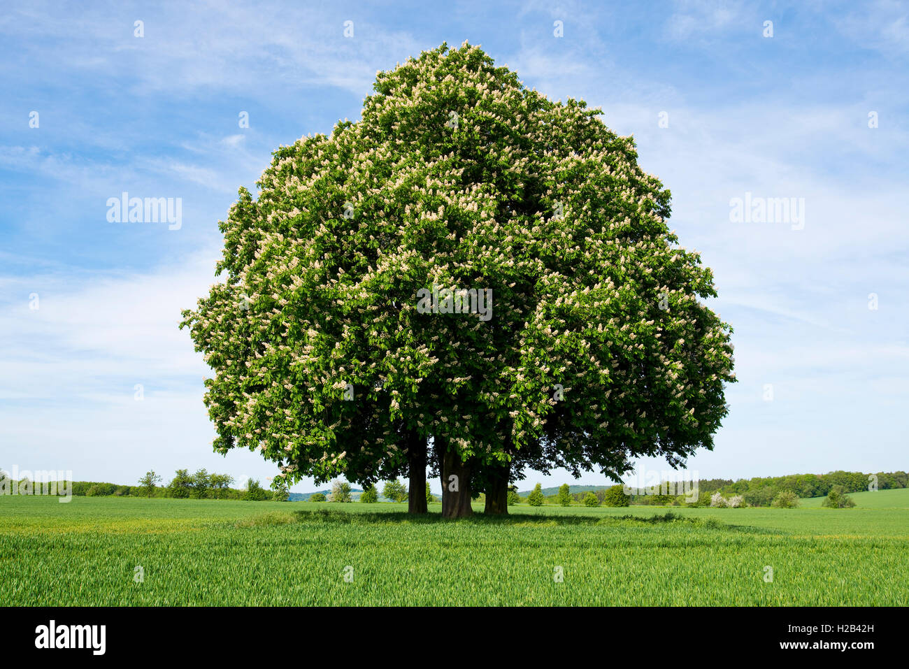 Horse-chestnut or conker tree (Aesculus hippocastanum) flowering, group of trees in grain field, Hötzelsroda - Stock Image
