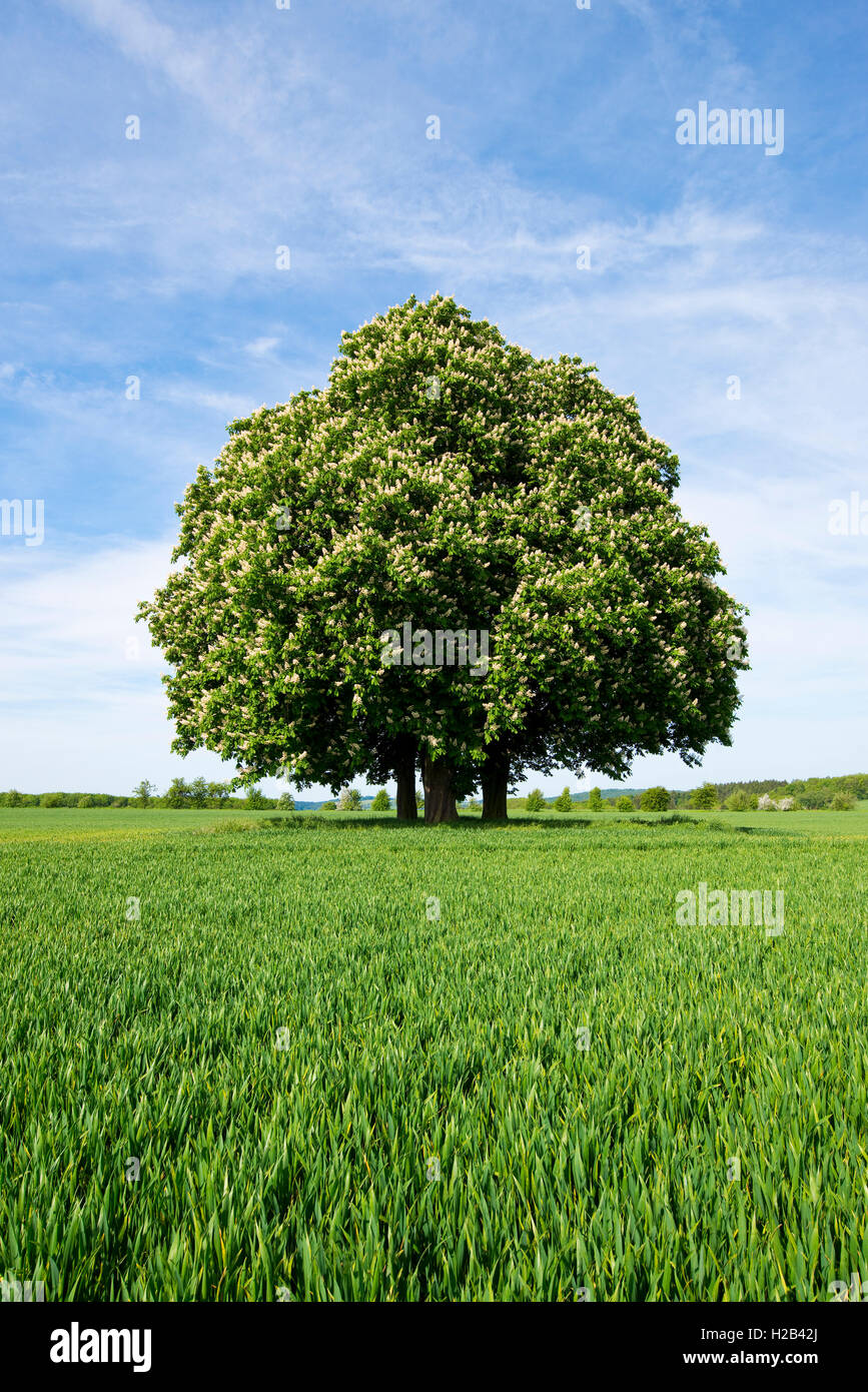 Horse-chestnut or conker tree (Aesculus hippocastanum) flowering, group of trees in grain field, Thuringia, Germany - Stock Image