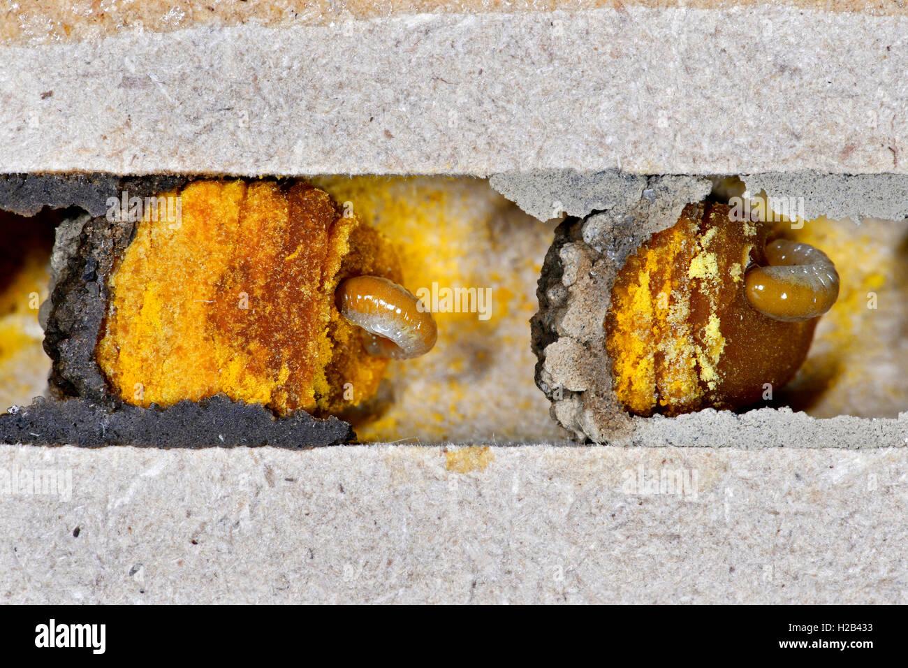Larven der Gehörnten Mauerbiene (Osmia cornuta) fressen einen Pollen-Nektarbrei (Pollenbrot) in Brutzellen - Stock Image