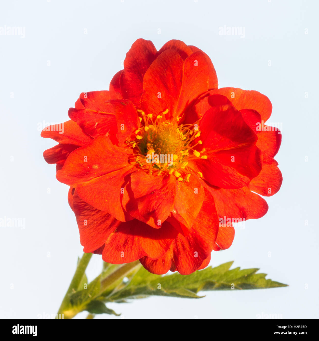 Geum 'Blazing Sunset' flower - Stock Image