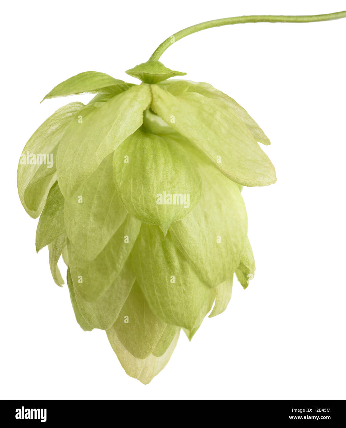hop cone isolated on white background - Stock Image