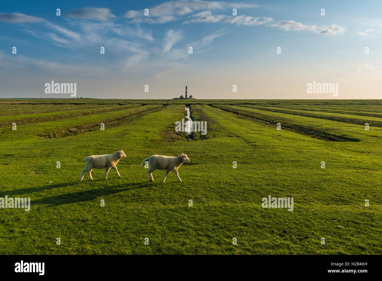Lambs on saltmarshes, Westerhever Lighthouse behind, Westerhever, Eiderstedt, North Frisia, Schleswig-Holstein, Stock Photo