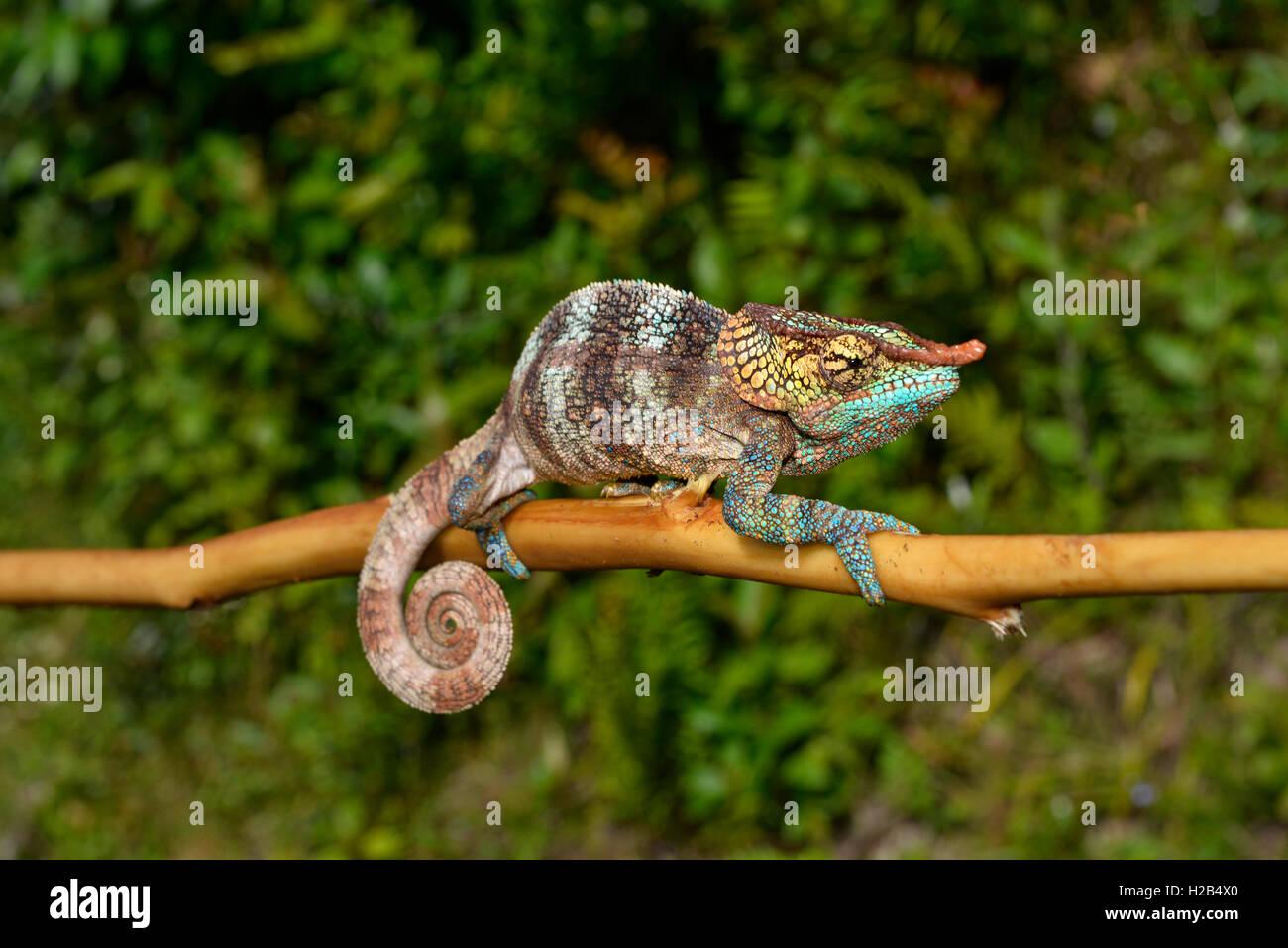 Cryptic chameleon (Calumma crypticum), male, rainforest, southeast Madagascar - Stock Image