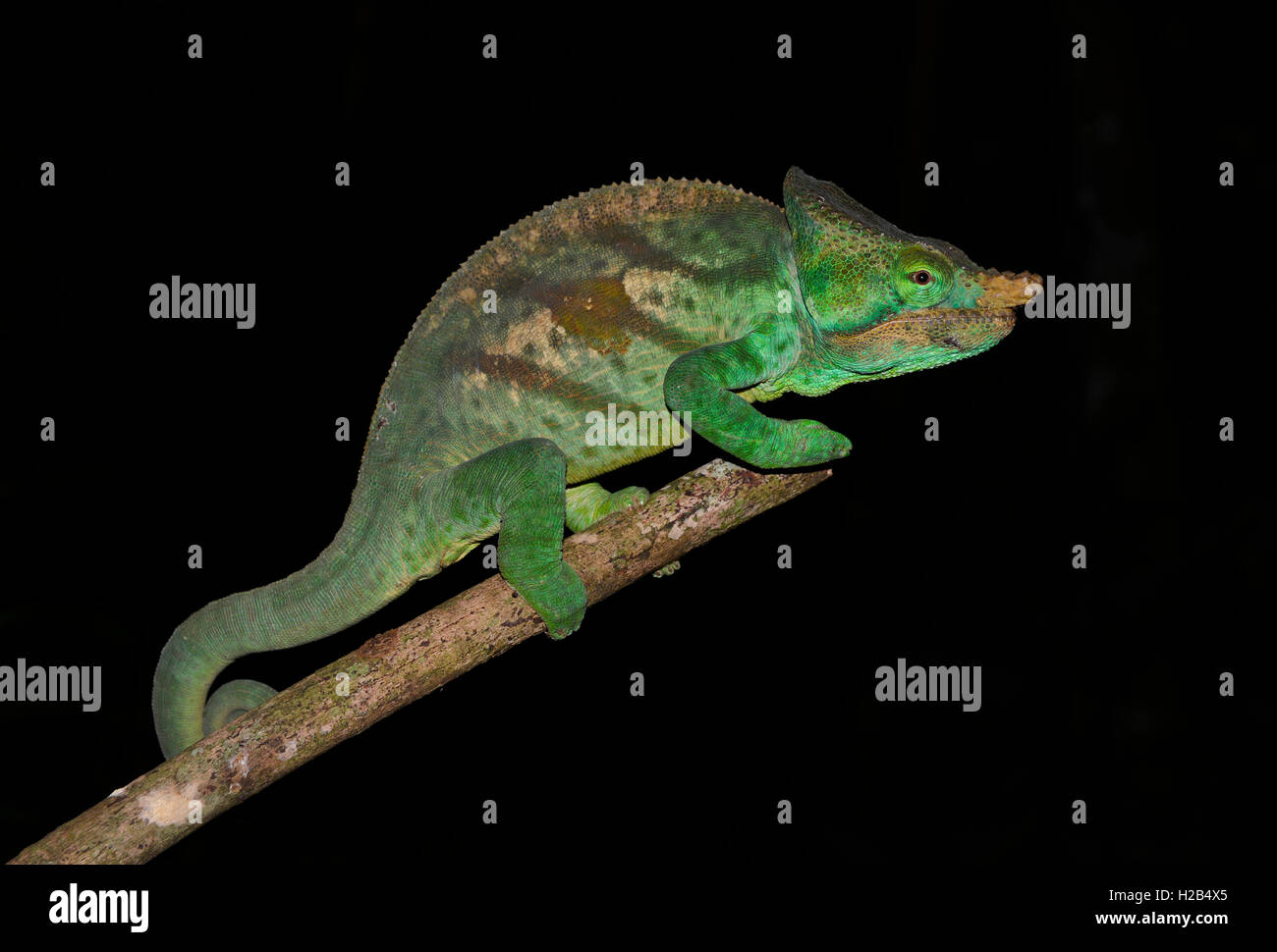 Parson's chameleon (Calumma parsonii cristifer), male, rainforest, Andasibe-Mantadia National Park, east Madagascar - Stock Image