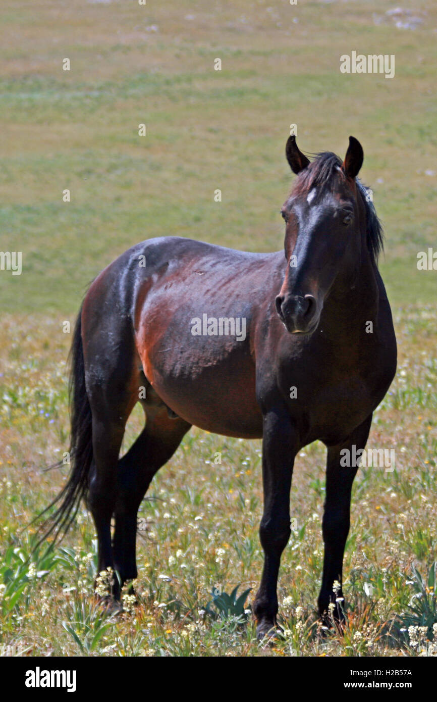 Black Bay Mustang Wild Horse Stud Stallion In The Pryor Mountains Stock Photo Alamy