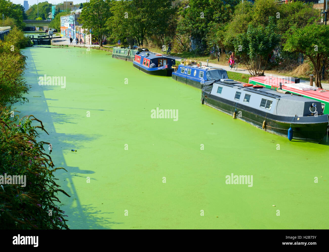 Hertford Union Canal at Hackney Wick in East London is turned bright green by an overgrowth of duckweed - Stock Image