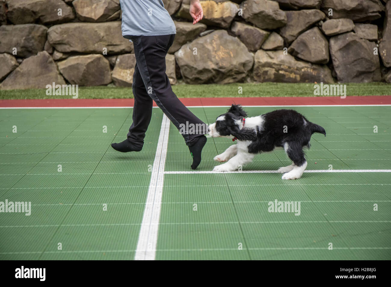 Two month old Springer Spaniel puppy, Tre, biting the pants let of his owner as he chases her in fun, in Issaquah, - Stock Image