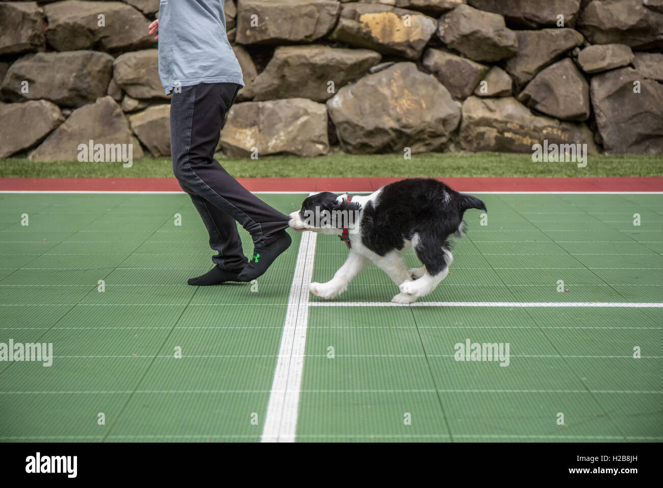 Two month old Springer Spaniel puppy, Tre, biting the pants let of his seven year old owner as he chases her in - Stock Image