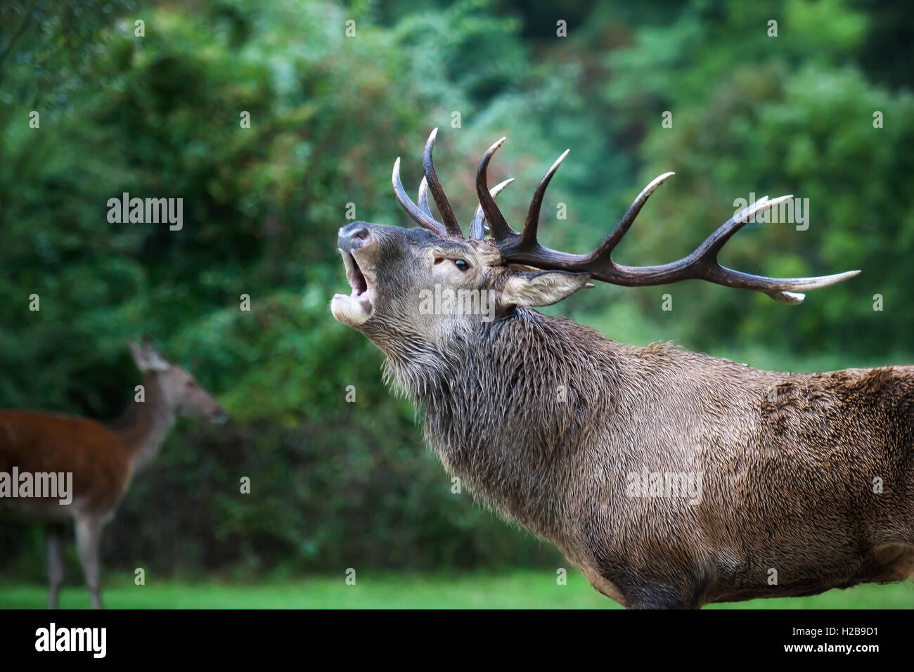 Closeup of a male specimen of deer in love. The animal with the majestic antlers on the head when bellow is the - Stock Image
