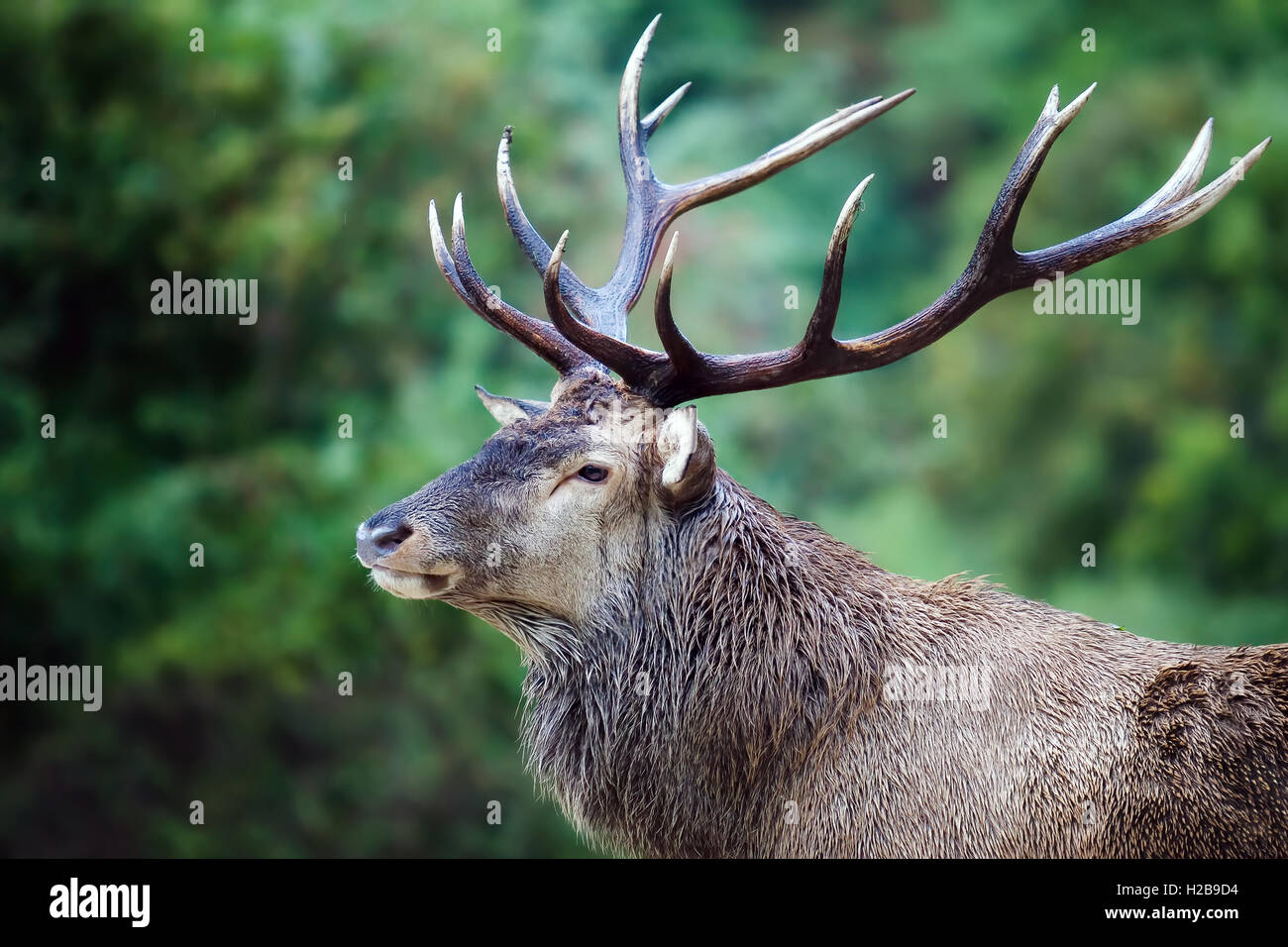 The first floor of a stately Italian deer. Male specimen with majestic antlers on his head, in the background the - Stock Image